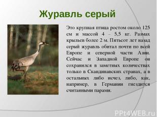 Журавль серый Это крупная птица ростом около 125 см и массой 4 – 5,5 кг. Размах