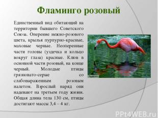 Фламинго розовый Единственный вид обитающий на территории бывшего Советского Сою