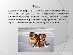 Тигр В длину тело тигра 180 – 280 см, хвост примерно 90 см, масса от 227 до 272