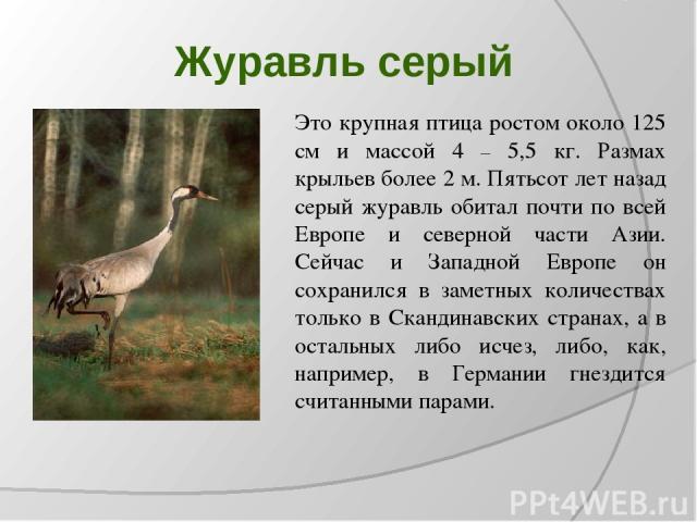 Журавль серый Это крупная птица ростом около 125 см и массой 4 – 5,5 кг. Размах крыльев более 2 м. Пятьсот лет назад серый журавль обитал почти по всей Европе и северной части Азии. Сейчас и Западной Европе он сохранился в заметных количествах тольк…