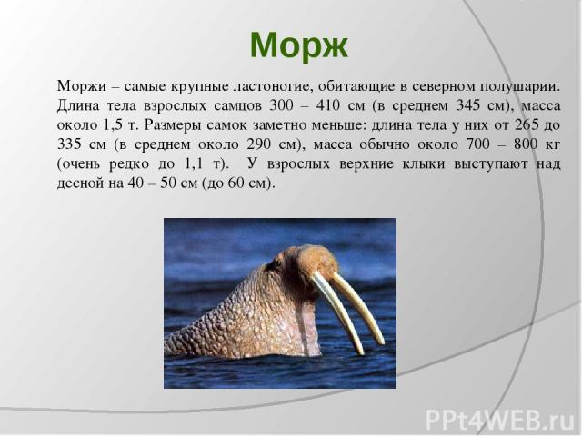 Морж Моржи – самые крупные ластоногие, обитающие в северном полушарии. Длина тела взрослых самцов 300 – 410 см (в среднем 345 см), масса около 1,5 т. Размеры самок заметно меньше: длина тела у них от 265 до 335 см (в среднем около 290 см), масса обы…