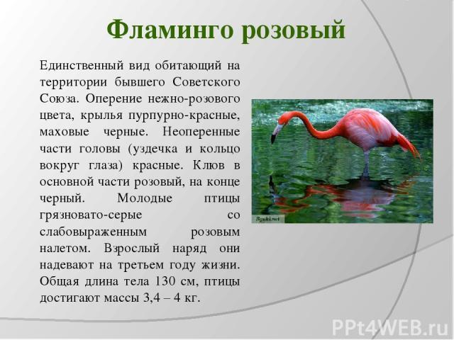 Фламинго розовый Единственный вид обитающий на территории бывшего Советского Союза. Оперение нежно-розового цвета, крылья пурпурно-красные, маховые черные. Неоперенные части головы (уздечка и кольцо вокруг глаза) красные. Клюв в основной части розов…