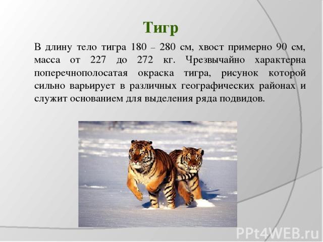 Тигр В длину тело тигра 180 – 280 см, хвост примерно 90 см, масса от 227 до 272 кг. Чрезвычайно характерна поперечнополосатая окраска тигра, рисунок которой сильно варьирует в различных географических районах и служит основанием для выделения ряда п…