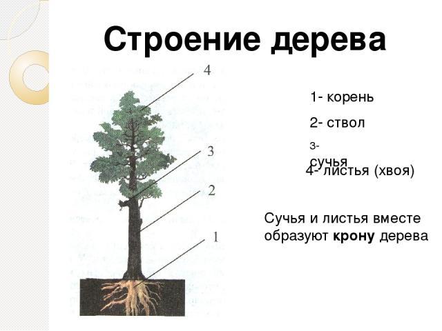 1- корень 2- ствол 3- сучья 4- листья (хвоя) Строение дерева Сучья и листья вместе образуют крону дерева