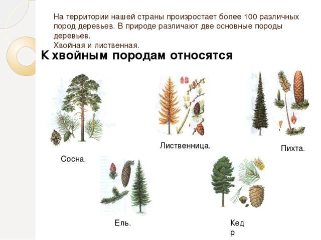 На территории нашей страны произростает более 100 различных пород деревьев. В природе различают две основные породы деревьев. Хвойная и лиственная. К хвойным породам относятся Сосна. Ель. Лиственница. Пихта. Кедр