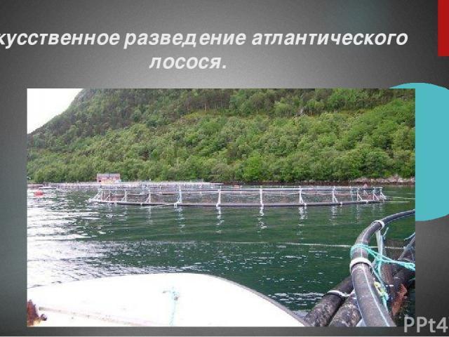 Искусственное разведение атлантического лосося.