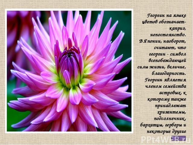 Георгин на языке цветов обозначает-каприз, непостоянство. В Японии, наоборот, считают, что георгин - символ всепобеждающей силы жизни, величие, благодарность. Георгин является членом семейства астровых, к которому также принадлежат хризантемы, подсо…