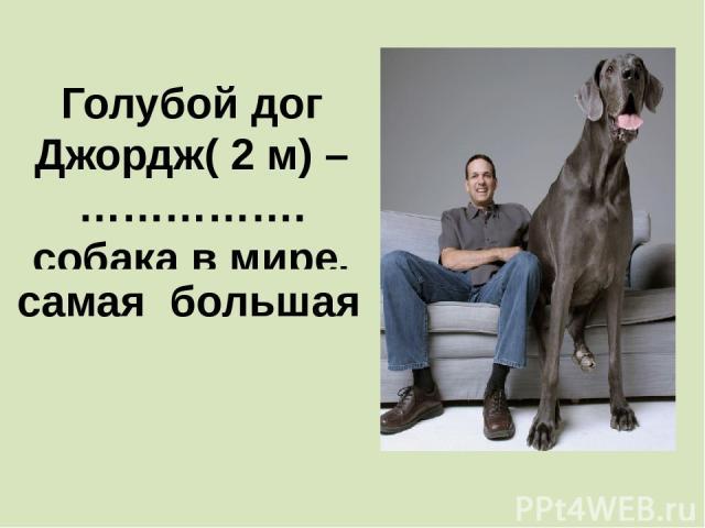 Голубой дог Джордж( 2 м) – ……………. собака в мире. самая большая