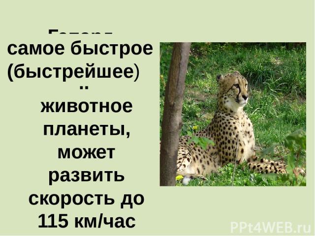 Гепард - ………………….. животное планеты, может развить скорость до 115 км/час самое быстрое (быстрейшее)