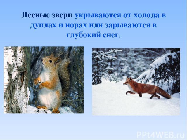 Лесные звери укрываются от холода в дуплах и норах или зарываются в глубокий снег.