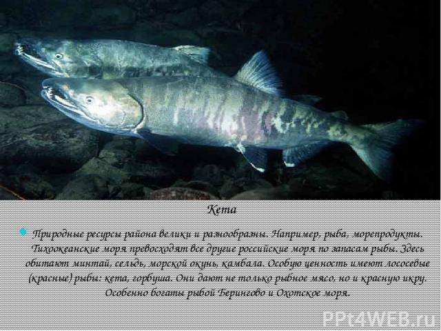 Кета Природные ресурсы района велики и разнообразны. Например, рыба, морепродукты. Тихоокеанские моря превосходят все другие российские моря по запасам рыбы. Здесь обитают минтай, сельдь, морской окунь, камбала. Особую ценность имеют лососевые (крас…