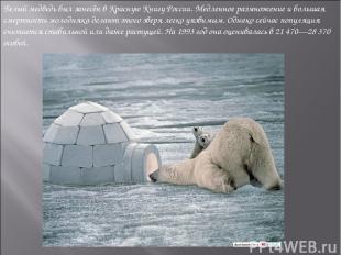 Белый медведь был занесён вКрасную Книгу России. Медленное размножение и больша