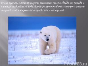 Очень густая, плотная шерсть защищает тело медведя от холода и намокания в ледян