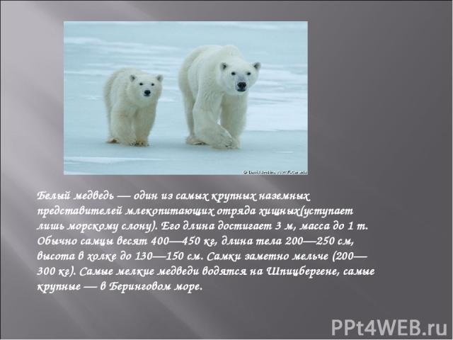 Белый медведь— один из самых крупных наземных представителей млекопитающих отрядахищных(уступает лишьморскому слону). Его длина достигает 3м, масса до 1 т. Обычно самцы весят 400—450кг, длина тела 200—250см, высота в холке до 130—150см. Самки…