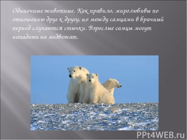 Одиночные животные. Как правило, миролюбивы по отношению друг к другу, но между самцами в брачный период случаются стычки. Взрослые самцы могут нападать на медвежат.