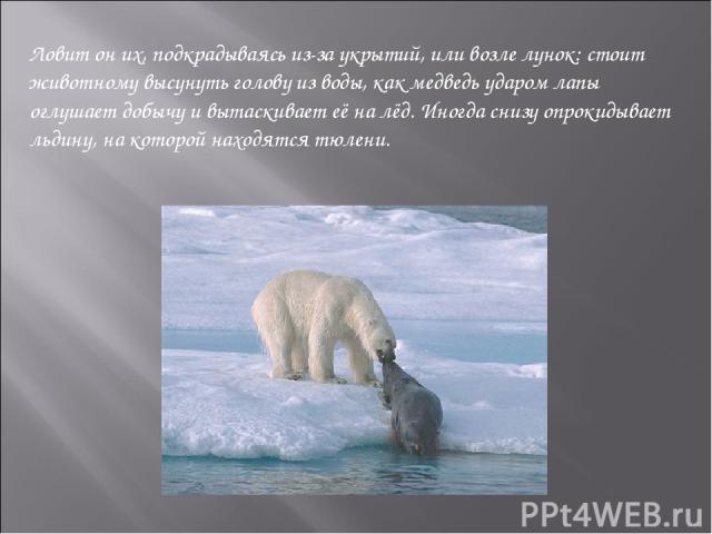 Ловит он их, подкрадываясь из-за укрытий, или возле лунок: стоит животному высунуть голову из воды, как медведь ударом лапы оглушает добычу и вытаскивает её на лёд. Иногда снизу опрокидывает льдину, на которой находятся тюлени.