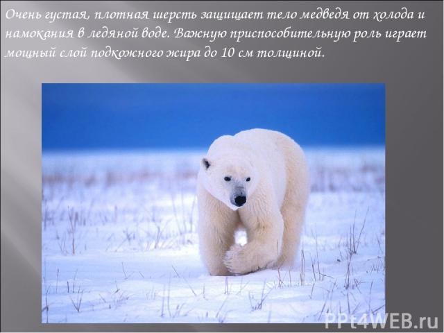 Очень густая, плотная шерсть защищает тело медведя от холода и намокания в ледяной воде. Важную приспособительную роль играет мощный слой подкожного жира до 10см толщиной.