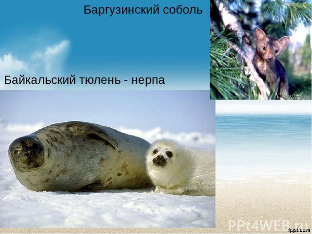 Байкальский тюлень - нерпа Баргузинский соболь