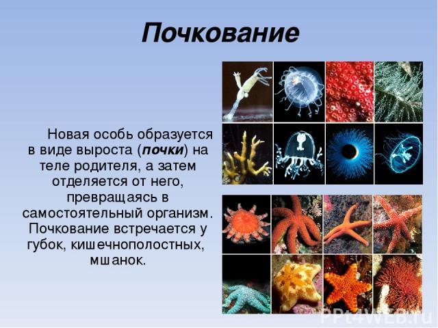 Почкование Новая особь образуется в виде выроста (почки) на теле родителя, а затем отделяется от него, превращаясь в самостоятельный организм. Почкование встречается у губок, кишечнополостных, мшанок.