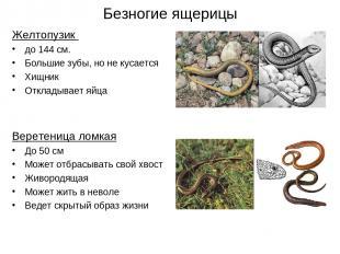 Безногие ящерицы Желтопузик до 144 см. Большие зубы, но не кусается Хищник Откла