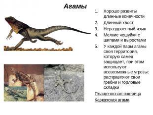 Агамы Хорошо развиты длинные конечности Длинный хвост Нераздвоенный язык Мелкие