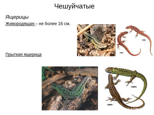 Чешуйчатые Ящерицы Живородящая – не более 16 см. Прыткая ящерица