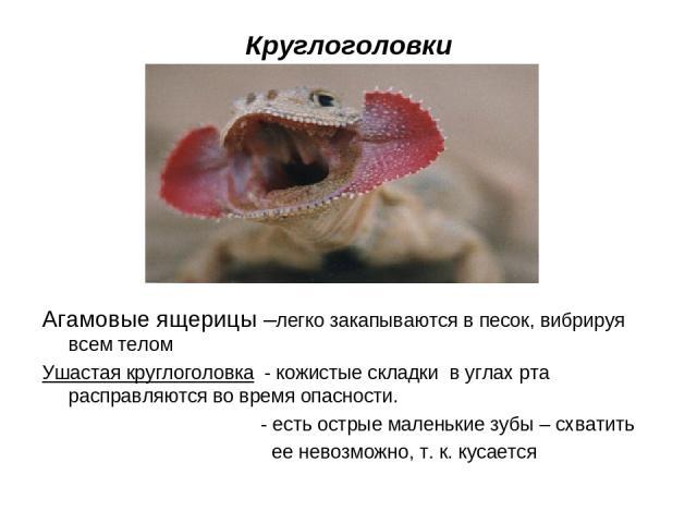 Круглоголовки Агамовые ящерицы –легко закапываются в песок, вибрируя всем телом Ушастая круглоголовка - кожистые складки в углах рта расправляются во время опасности. - есть острые маленькие зубы – схватить ее невозможно, т. к. кусается