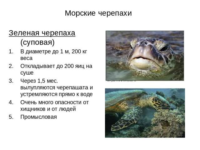 Морские черепахи Зеленая черепаха (суповая) В диаметре до 1 м, 200 кг веса Откладывает до 200 яиц на суше Через 1,5 мес. вылупляются черепашата и устремляются прямо к воде Очень много опасности от хищников и от людей Промысловая