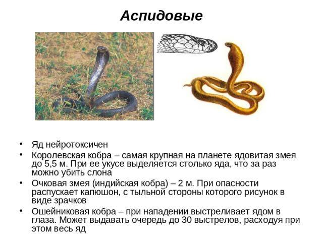 Аспидовые Яд нейротоксичен Королевская кобра – самая крупная на планете ядовитая змея до 5,5 м. При ее укусе выделяется столько яда, что за раз можно убить слона Очковая змея (индийская кобра) – 2 м. При опасности распускает капюшон, с тыльной сторо…