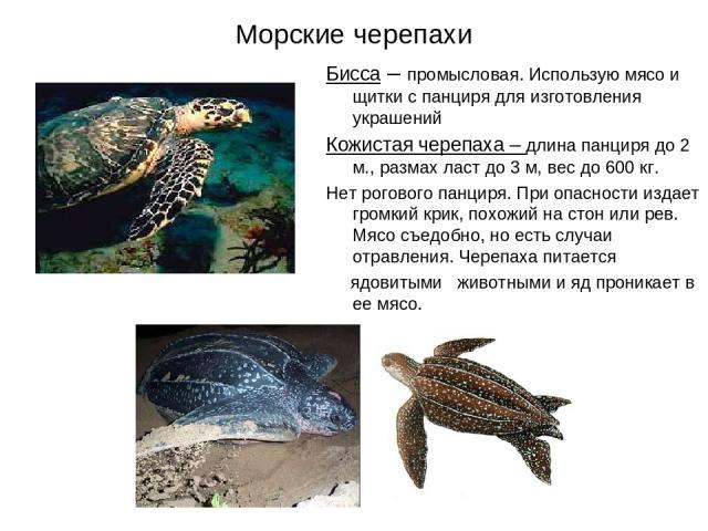 Морские черепахи Бисса – промысловая. Использую мясо и щитки с панциря для изготовления украшений Кожистая черепаха – длина панциря до 2 м., размах ласт до 3 м, вес до 600 кг. Нет рогового панциря. При опасности издает громкий крик, похожий на стон …