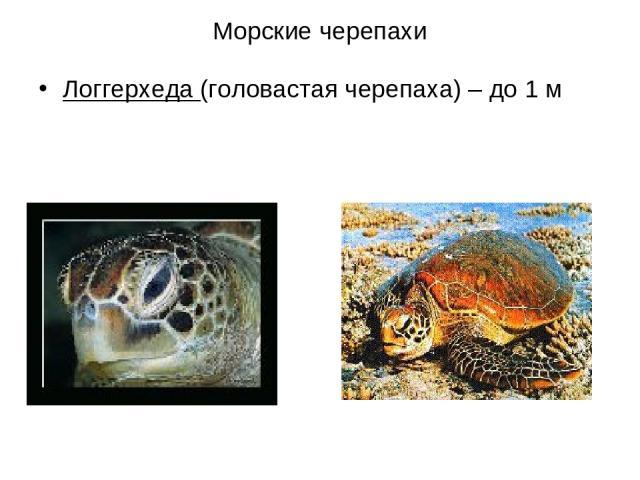 Морские черепахи Логгерхеда (головастая черепаха) – до 1 м