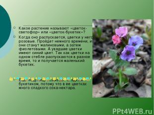 Какое растение называют «цветок-светофор» или «цветок-букетик»? Когда оно распус
