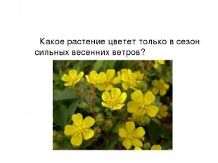 Какое растение цветет только в сезон сильных весенних ветров?