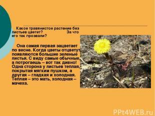 Какое травянистое растение без листьев цветет? За что его так прозвали? Она сама