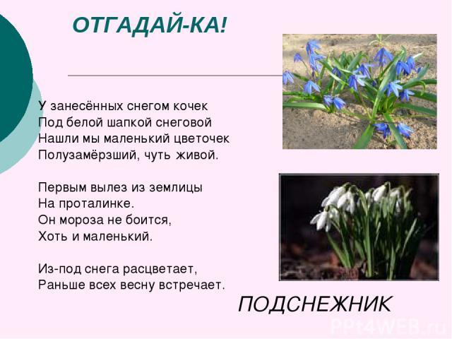 ОТГАДАЙ-КА! У занесённых снегом кочек Под белой шапкой снеговой Нашли мы маленький цветочек Полузамёрзший, чуть живой. Первым вылез из землицы На проталинке. Он мороза не боится, Хоть и маленький. Из-под снега расцветает, Раньше всех весну встречает…