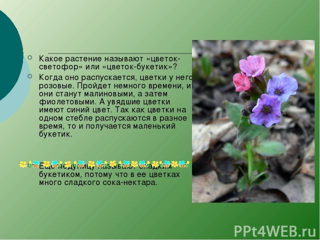 Какое растение называют «цветок-светофор» или «цветок-букетик»? Когда оно распускается, цветки у него розовые. Пройдет немного времени, и они станут малиновыми, а затем фиолетовыми. А увядшие цветки имеют синий цвет. Так как цветки на одном стебле р…
