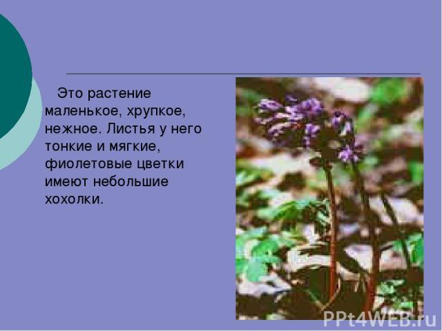Это растение маленькое, хрупкое, нежное. Листья у него тонкие и мягкие, фиолетовые цветки имеют небольшие хохолки.