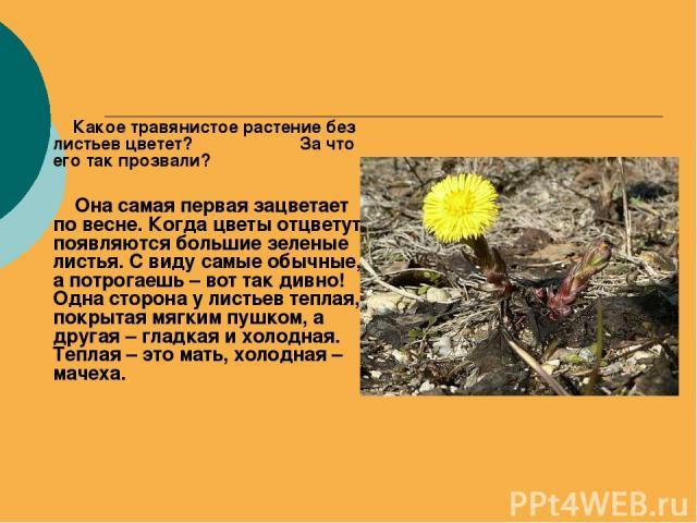 Какое травянистое растение без листьев цветет? За что его так прозвали? Она самая первая зацветает по весне. Когда цветы отцветут, появляются большие зеленые листья. С виду самые обычные, а потрогаешь – вот так дивно! Одна сторона у листьев теплая, …