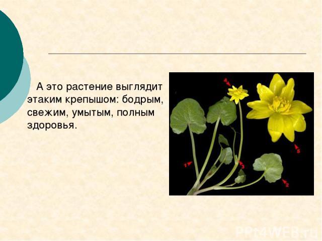 А это растение выглядит этаким крепышом: бодрым, свежим, умытым, полным здоровья.