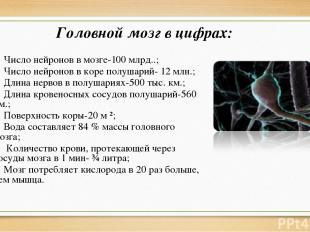 Головной мозг в цифрах: Число нейронов в мозге-100 млрд..; Число нейронов в коре