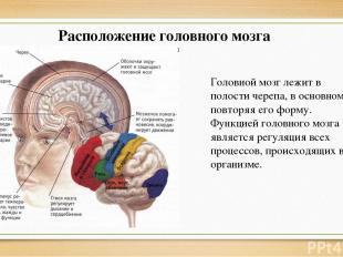 Расположение головного мозга Головной мозг лежит в полости черепа, в основном по