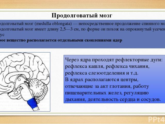Продолговатый мозг Продолговатый мозг (medulla oblongata) — непосредственное продолжение спинного мозга. Продолговатый мозг имеет длину 2,5—3 см, по форме он похож на опрокинутый усеченный конус Серое вещество располагается отдельными скоплениями яд…