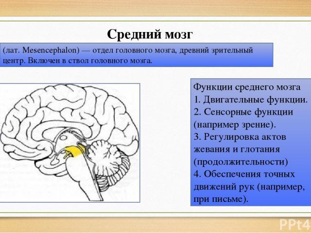 Средний мозг (лат. Mesencephalon) — отдел головного мозга, древний зрительный центр. Включен в ствол головного мозга. Функции среднего мозга 1. Двигательные функции. 2. Сенсорные функции (например зрение). 3. Регулировка актов жевания и глотания (пр…