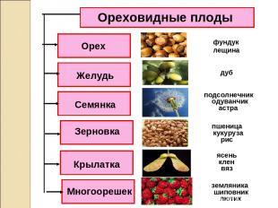 Ореховидные плоды Орех Семянка Желудь Зерновка Крылатка Многоорешек вяз ясень лю