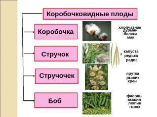 Коробочковидные плоды Коробочка Стручочек Стручок Боб дурман белена мак капуста