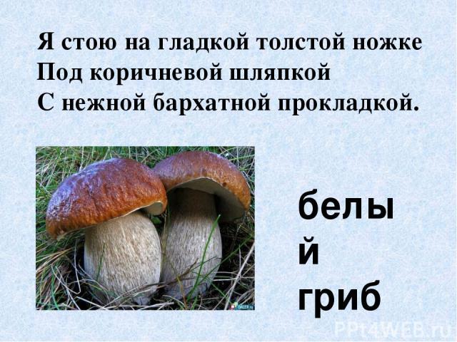 Я стою на гладкой толстой ножке Под коричневой шляпкой С нежной бархатной прокладкой. белый гриб