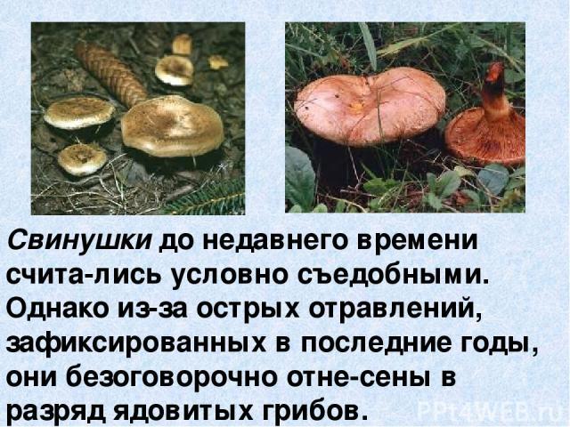 Свинушки до недавнего времени счита-лись условно съедобными. Однако из-за острых отравлений, зафиксированных в последние годы, они безоговорочно отне-сены в разряд ядовитых грибов.