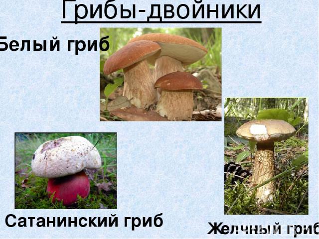 Грибы-двойники Сатанинский гриб Желчный гриб Белый гриб