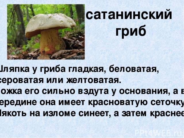 сатанинский гриб Шляпка у гриба гладкая, беловатая, сероватая или желтоватая. Ножка его сильно вздута у основания, а в середине она имеет красноватую сеточку. Мякоть на изломе синеет, а затем краснеет.