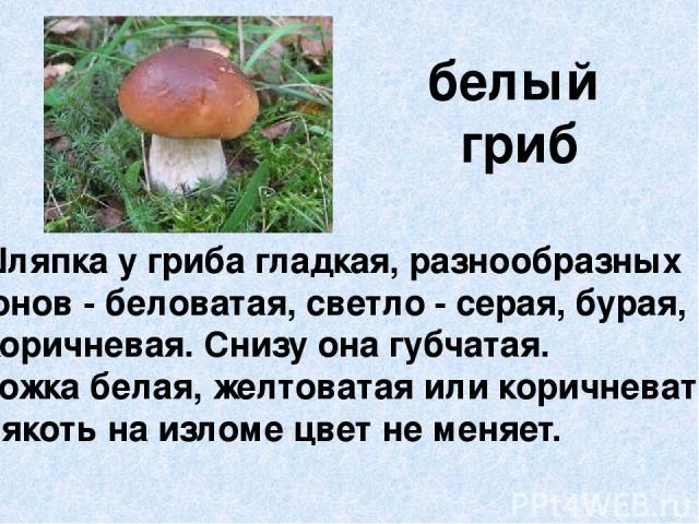 белый гриб Шляпка у гриба гладкая, разнообразных тонов - беловатая, светло - серая, бурая, коричневая. Снизу она губчатая. Ножка белая, желтоватая или коричневатая. Мякоть на изломе цвет не меняет.